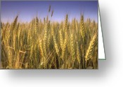 Evening Light Greeting Cards - Golden Winter Wheat in Summer Greeting Card by Gordon Wood