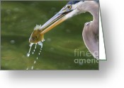 Blue Heron Photo Greeting Cards - Good Catch Greeting Card by Miguel Celis