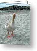Ken Sjodin Greeting Cards - Goose1 Greeting Card by Ken  Sjodin