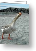 Ken Sjodin Greeting Cards - Goose3 Greeting Card by Ken  Sjodin