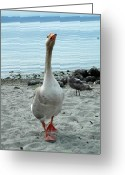 Ken Sjodin Greeting Cards - Goose4 Greeting Card by Ken  Sjodin