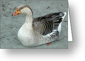 Ken Sjodin Greeting Cards - Goose7 Greeting Card by Ken  Sjodin