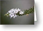 Gooseneck Loosestrife Greeting Cards - Gooseneck Loosestrife II Greeting Card by Michael Friedman