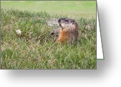 Groundhog Greeting Cards - Gopher Greeting Card by Michel Soucy