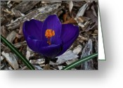 Homesickness Greeting Cards - Gorgeous Crocus Greeting Card by Douglas Barnett