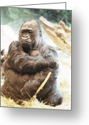 Ken Sjodin Greeting Cards - Gorilla2 Greeting Card by Ken  Sjodin