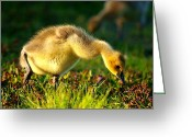 Canada Digital Art Greeting Cards - Gosling In Spring Greeting Card by Mingqi Ge