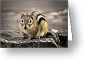 Chipmunk Greeting Cards - Got Nuts Greeting Card by Evelina Kremsdorf