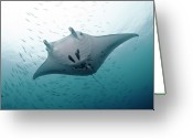 Swimming Photo Greeting Cards - Graceful Manta Greeting Card by Wendy A. Capili