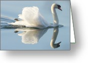 Swimming Photo Greeting Cards - Graceful Swan Greeting Card by Andrew Steele