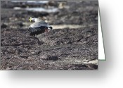 Lapwing Photo Greeting Cards - Gracious Ascent Greeting Card by Douglas Barnard