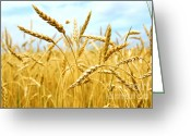 Ears Greeting Cards - Grain field Greeting Card by Elena Elisseeva