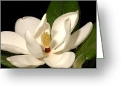 Magnolia Grandiflora Greeting Cards - Grandiflora Greeting Card by Greg and Chrystal Mimbs
