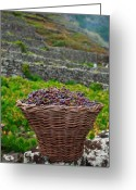 Grapevines Greeting Cards - Grape harvest Greeting Card by Gaspar Avila