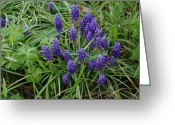 Texas.photo Photo Greeting Cards - Grape Hyacinth Patch Greeting Card by Robyn Stacey