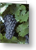 Cabernet Sauvignon Greeting Cards - Grapes On The Vine Greeting Card by Kenneth Garrett