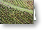 Horizontal Lines Greeting Cards - Grapevines in Fall Colors Greeting Card by Jeremy Woodhouse