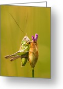 Green Grass Hopper Greeting Cards - Grashoppers Greeting Card by Odon Czintos