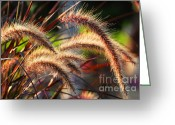 Backlit Greeting Cards - Grass ears Greeting Card by Elena Elisseeva