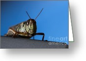 Green Grass Hopper Greeting Cards - Grass Hopper Pose Greeting Card by Darcy Michaelchuk