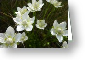 Estephy Sabin Figueroa Greeting Cards - Grass-of-Parnassus Greeting Card by Estephy Sabin Figueroa