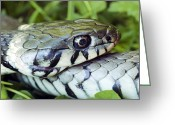Snake Scales Greeting Cards - Grass Snake Greeting Card by Dr Jeremy Burgess