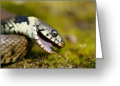 Pretending Greeting Cards - Grass Snake Feigning Death Greeting Card by Andy Harmer
