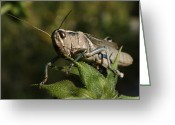 Grasshopper Greeting Cards - Grasshopper 2 Greeting Card by Ernie Echols
