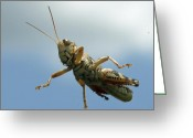 Grasshopper Greeting Cards - Grasshopper I Greeting Card by James Granberry