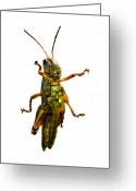 Grasshopper Greeting Cards - Grasshopper II Greeting Card by Gary Adkins