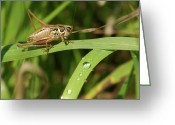 Green Grass Hopper Greeting Cards - Grasshopper Greeting Card by Michael Peychich