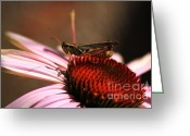 Grasshopper Greeting Cards - Grasshopper on Cornflower - Macro Greeting Card by Marjorie Imbeau