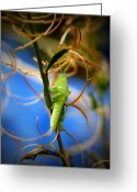Grasshopper Greeting Cards - Grassy Hopper Greeting Card by Chris Brannen