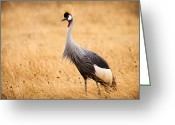 Crane Greeting Cards - Gray Crowned Crane Greeting Card by Adam Romanowicz