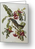 Drawing Of Bird Greeting Cards - Gray Tyrant Greeting Card by John James Audubon