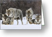 Four Animals Greeting Cards - Gray Wolf Canis Lupus Group, Norway Greeting Card by Jasper Doest
