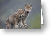 Looking At Camera Greeting Cards - Gray Wolf Canis Lupus Pups In Light Greeting Card by Tim Fitzharris