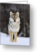 Carnivores Greeting Cards - Gray Wolf Canis Lupus Standing Greeting Card by Jasper Doest