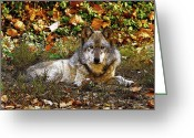 Indiana Autumn Greeting Cards - Gray Wolf in Autumn Greeting Card by Sandy Keeton