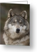 Property Released Photography Greeting Cards - Gray Wolves Canis Lupus At The Rolling Greeting Card by Joel Sartore
