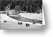 Colorado Mixed Media Greeting Cards - Grazing BW Greeting Card by Angelina Vick