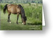 Gaited  Horse Greeting Cards - Grazing Florida Cracker Horse Greeting Card by Lynn Palmer