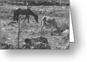 Caballo Greeting Cards - Grazing Greeting Card by Michael Peychich
