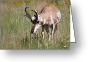 Bison Range Greeting Cards - Grazing Pronghorn Greeting Card by Katie LaSalle-Lowery