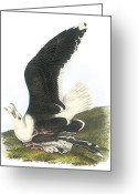 Great Painting Greeting Cards - Great Black-backed Gull Greeting Card by John James Audubon