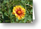 Mark Lehar Greeting Cards - Great Blanket Flower Gaillardia Greeting Card by Mark Lehar