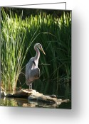 Grasses Greeting Cards - Great Blue Heron Greeting Card by Ellen Henneke