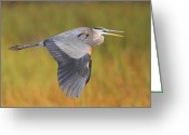 Herons Greeting Cards - Great Blue Heron In Flight Greeting Card by Bruce J Robinson