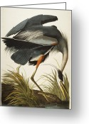 Natural Drawings Greeting Cards - Great Blue Heron Greeting Card by John James Audubon