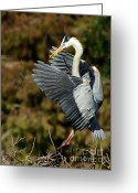 Courting Greeting Cards - Great Blue Heron Landing Greeting Card by Sabrina L Ryan